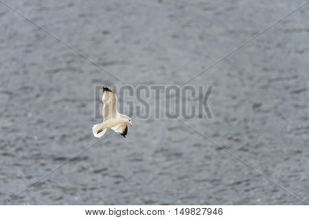 Ring-billed gull suspended over gray choppy water