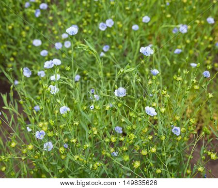 Flax Blue Flowers