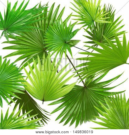 Palm  leaves (Livistona Rotundifolia palm), on white background