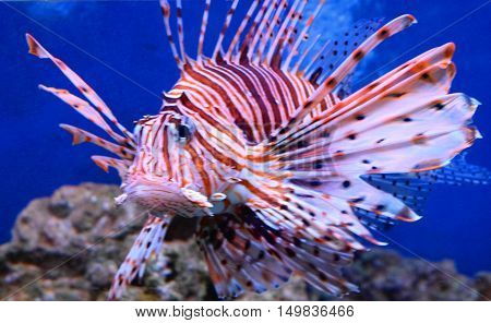 large tropical fish volitans lionfish close up colourful