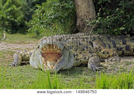 Nile Crocodile (Crocodylus Niloticus) with Open Mouth Lying on the River Bank. Murchison Falls Uganda