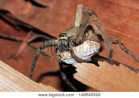 Spider Carrying an Egg Sack. Kampung Mabul West Papua Indonesia