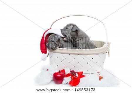 One month old thai ridgeback puppy dogs in christmas cap sitting un white basket. Isolated on white. Copy space.