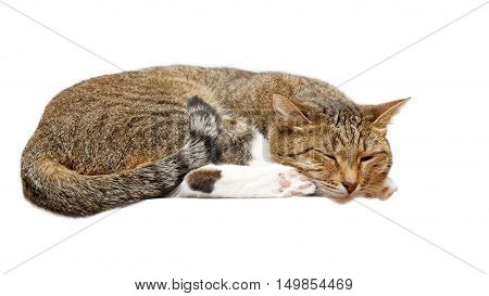 Lying cat napping. Isolated on white background.