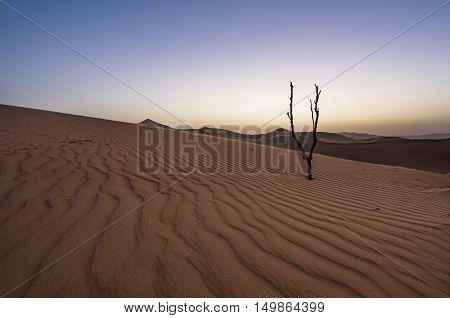 Dead tree in Liwa desert at sunset