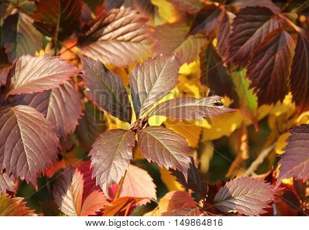 close photo of red leaves of woodbine in autumn