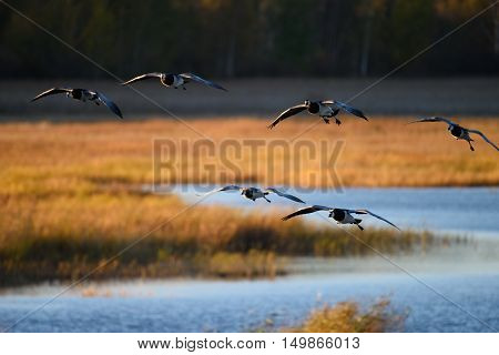 Flock of Canada geese landing in the water on October evening in Espoo, Finland poster