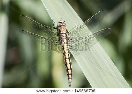 Close up photo of yellow libel insect (Orthetrum cancellatum)