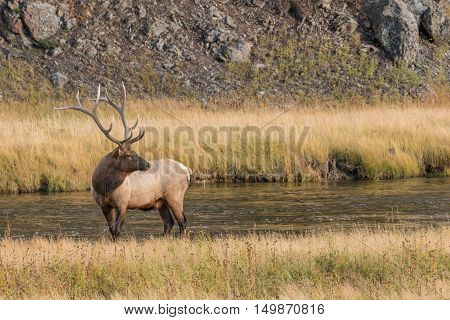 a bull elk in a stream during the fall rut