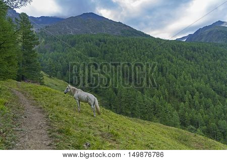 White horse on the mountainside. Overcast summer morning. Altai Mountains Russia.