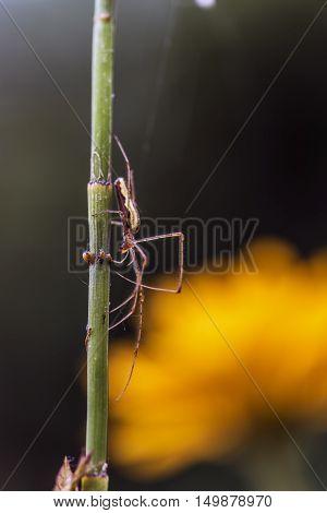 long limbs spider on a flower stem outdoor macro closeup