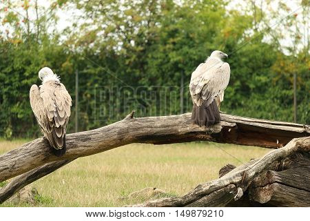 Couple of Griffon vulture sitting on branch during cloudy day Gyps fulvus also know as Eurasian griffon