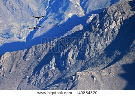 Five condors flying over the mountains of the Colca canyon. The Colca canyon is one of the deepest canyons in the world near the city of Arequipa in Peru.