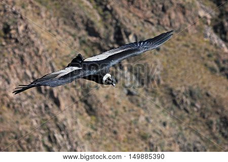Male andean condor flying very close. Colca canyon - one of the deepest canyons in the world near the city of Arequipa in Peru.