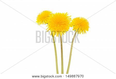 flower of dandelion isolated on white background