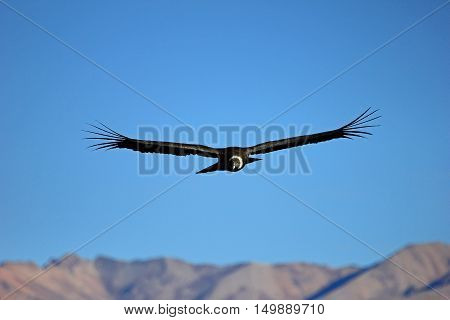 A female adult andean condor flying over the mountains of Colca canyon - one of the deepest canyons in the world, near the city of Arequipa in Peru.