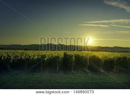 Bolgheri and Castagneto vineyard on sunset in backlight. Maremma Tuscany Italy Europe.