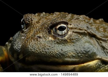 Close-up African bullfrog Pyxicephalus adspersus Frog isolated Black Background with reflection, side view on Eyes