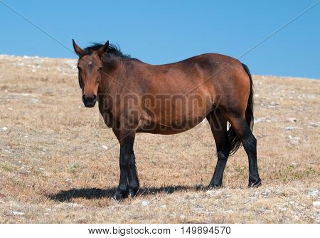Wild Horse Mustang Bay Mare on Sykes Ridge in the Pryor Mountains Wild Horse Range in Montana - Wyoming US.
