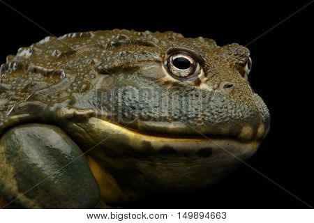 Close-up African bullfrog Pyxicephalus adspersus Frog isolated on Black Background with reflection, side view