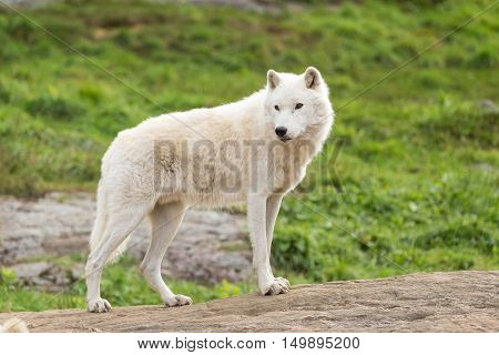 A lone white Arctic Wolf in a fall scene