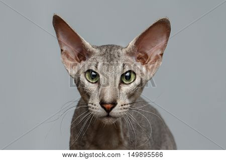 Close-up Portrait of Peterbald Sphynx Cat Curiosity Looks on White background