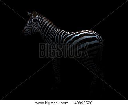 Zebra In The Dark