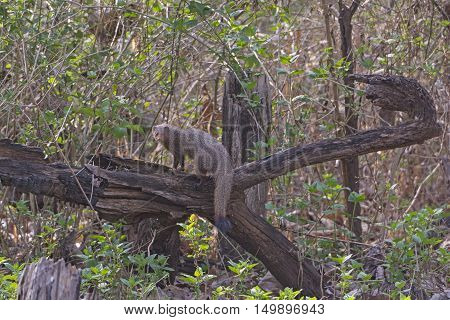 Indian Common Mongoose in the Forest in Nagarhole National Park in India
