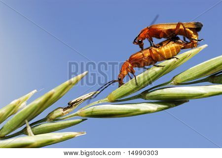 Copulating beetle