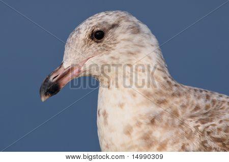 Portrait of Herring gull
