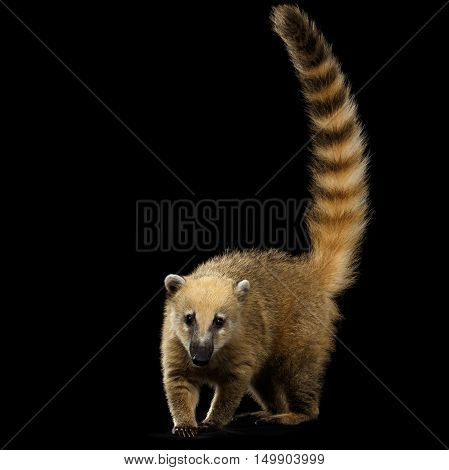 Wild animal South American coati, Nasua Standing and Posing, Looking in Camera with Tail Isolated on Black Background