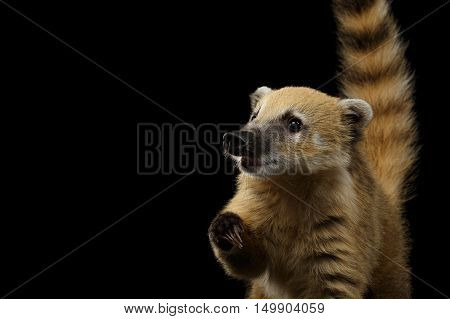 Close-up Portrait of Wild animal South American coati, Nasua Raising paw, asking food, with Tail Isolated on Black Background