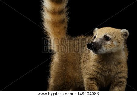 Close-up Wild animal South American coati, Nasua with Tail Isolated on Black Background