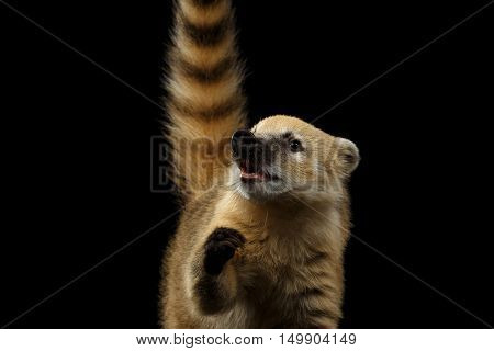 Close-up Portrait of Smiling Wild animal South American coati, Nasua Looking up and Raising paw, asking food, with Tail Isolated on Black Background