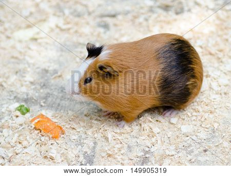 Cute small brown guinea pig with carrot.