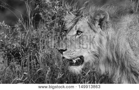 Young Lion on the prowl at The Kruger National Park South Africa