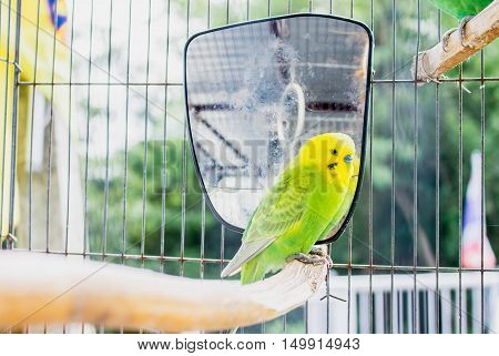 green-yellow parrot lovebird have a mirror in cage. blur background.