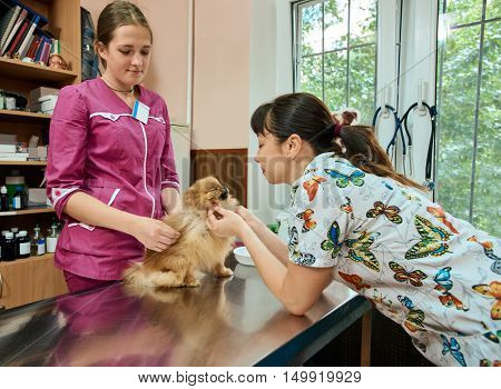 two woman Veterinarians checking dog in vet clinic