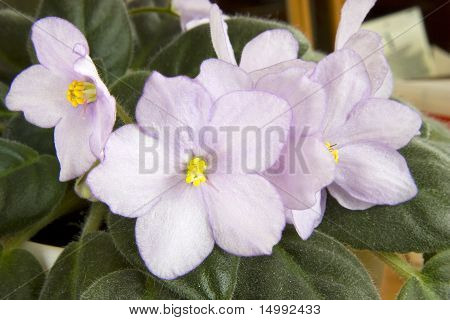 Violets flowers.