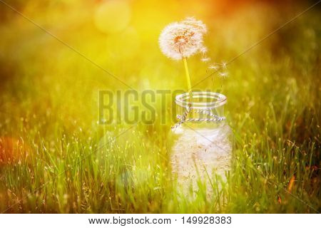 Dandelion seed wishes, saved in a bottle. Shallow depth of focus, focus on floating seeds and stem