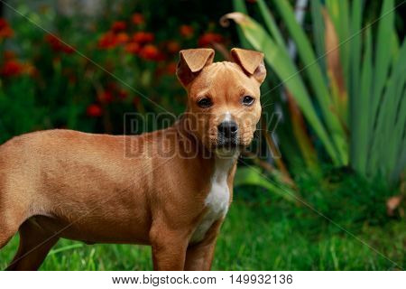 puppy breed American Staffordshire Terrier on a green grass