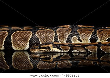 Ball or Royal python Snake. Python regius. on Isolated black background with reflection
