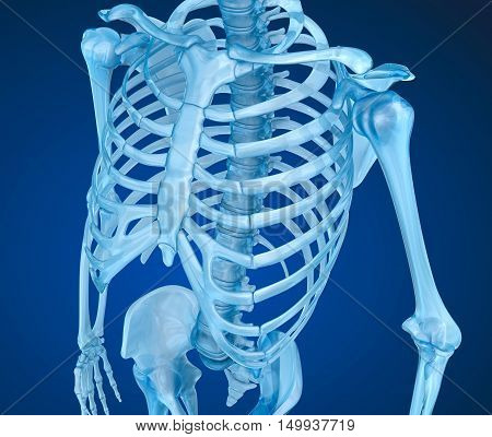 Human skeleton breast chest. Medically accurate 3D illustration