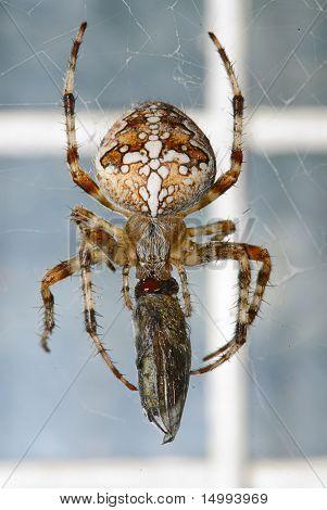 Kreuzspinnen (araneus)