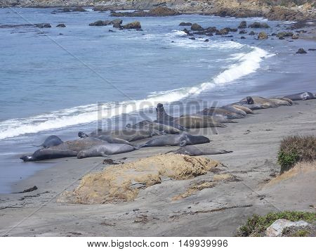 Elephant Seal colony on the beach in Big Sur. California USA