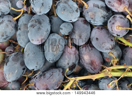 Background from branches of fresh blue grapes closeup
