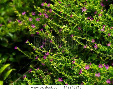 False Heather Mexican false heather Hawaii false heather elfin herb or Cuphea hyssopifolia