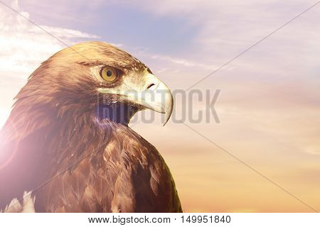 Portrait of Golden eagle Aquila chrysaetos on sunset sky background