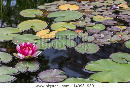 Red water lilly in a small pound. Background