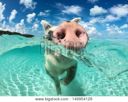 Wild, swimming pig on Big Majors Cay in The Bahamas.